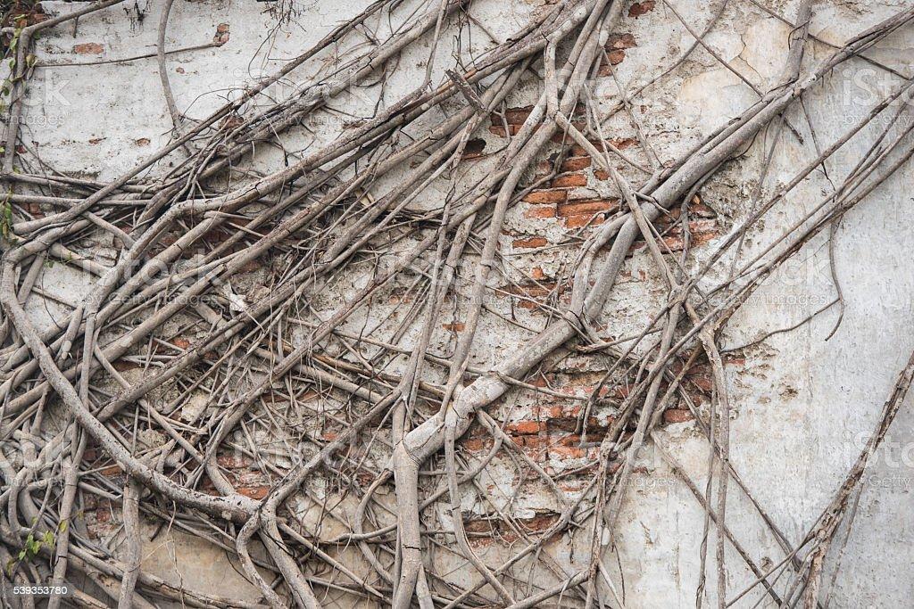 Ancient brick wall with growing banyan tree roots stock photo