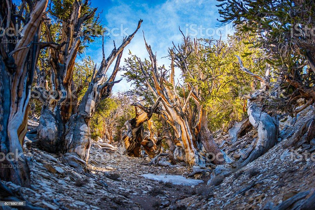 Ancient Bristle Cone Pinte Great Basin stock photo