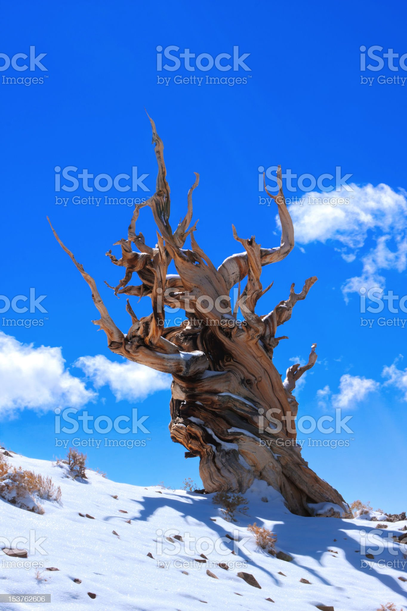 Ancient Bristlecone against Blue Sky royalty-free stock photo