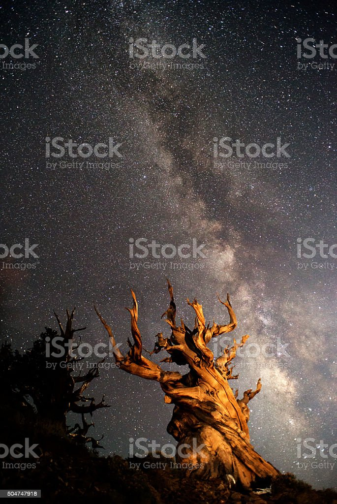Ancient Bristlecone Pine and Milky Way stock photo