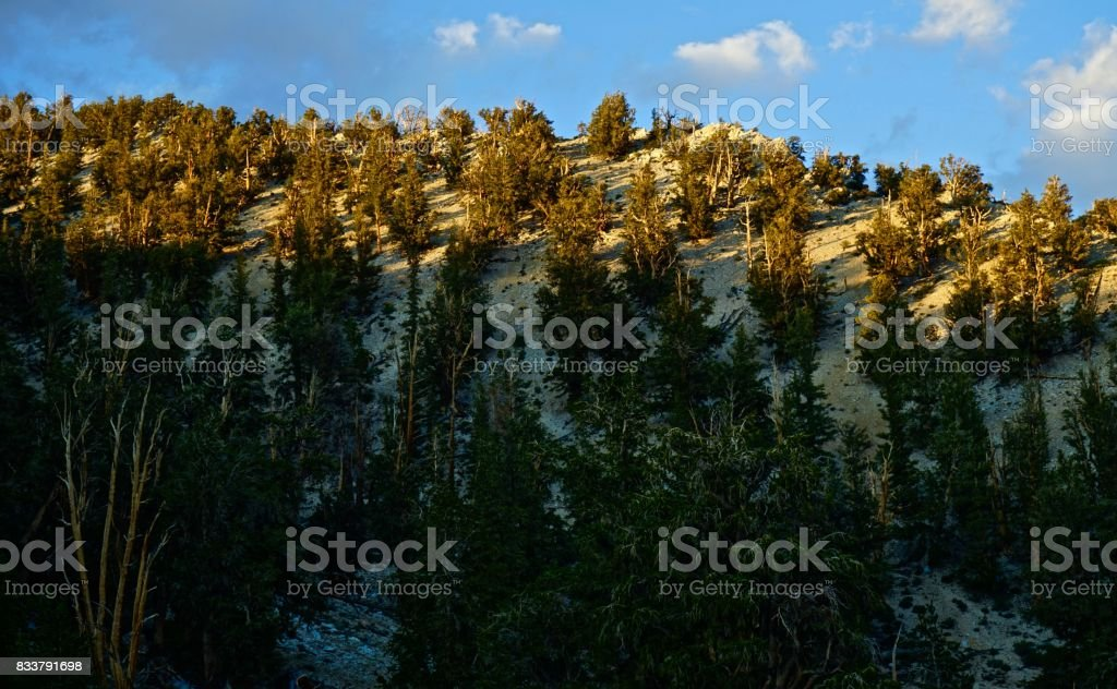 Ancient Bristlecone Pine Forest Light stock photo