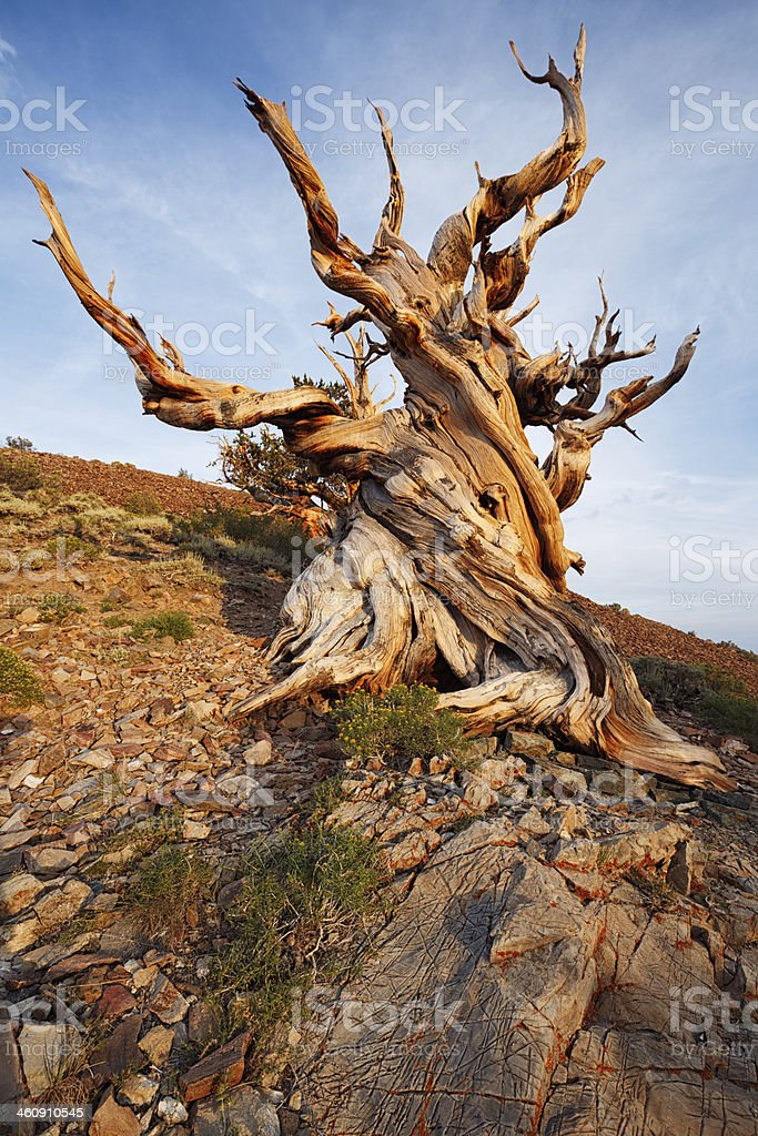 Ancient Bristlecone Pine Forest royalty-free stock photo