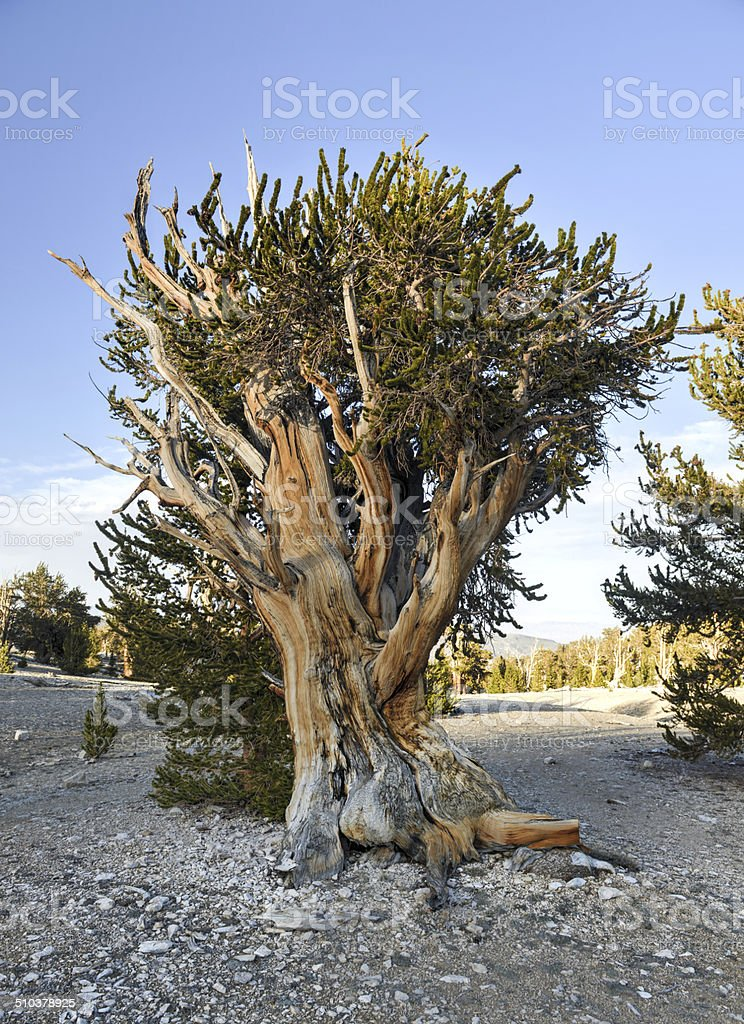 Ancient Bristlecone Pine Forest stock photo
