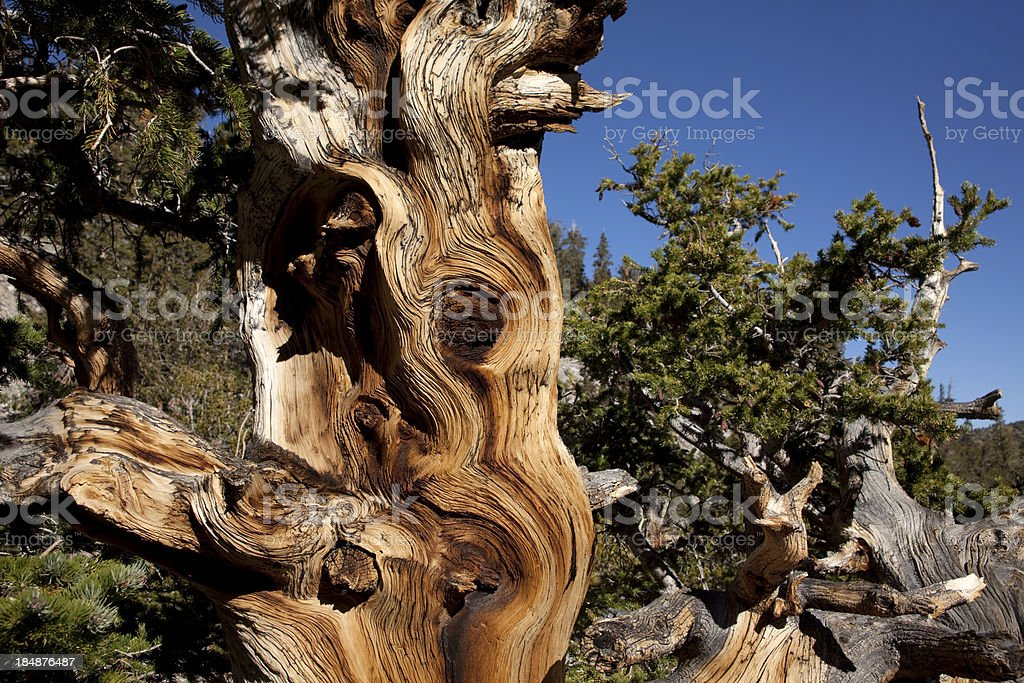 Ancient Bristlecone Pine in Nevada's Great Basin National Park h stock photo