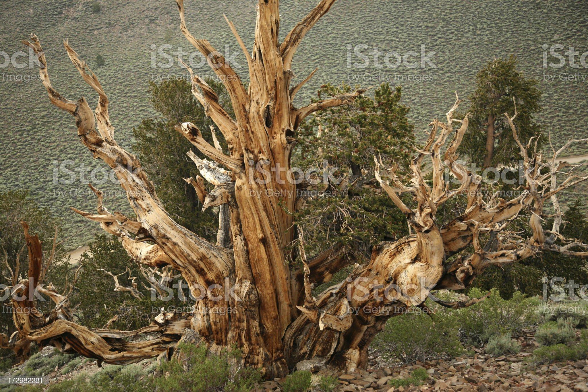 Ancient Bristlecone Pine royalty-free stock photo