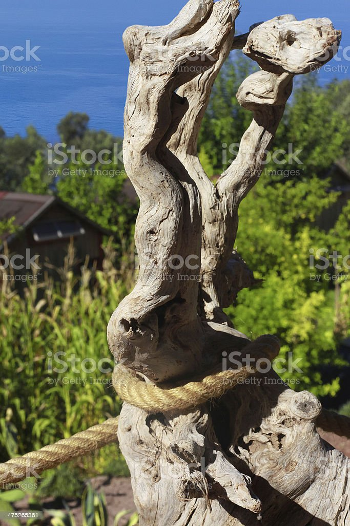 Ancient Bristlecone Pine stock photo