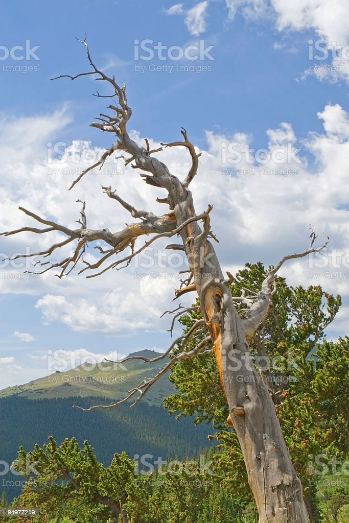 Ancient Bristlecone Pine Skeleton royalty-free stock photo