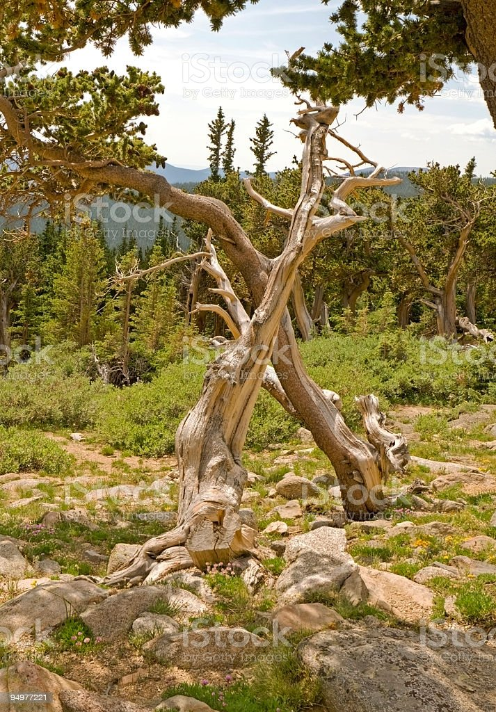Ancient Bristlecone Pine Skeletons royalty-free stock photo