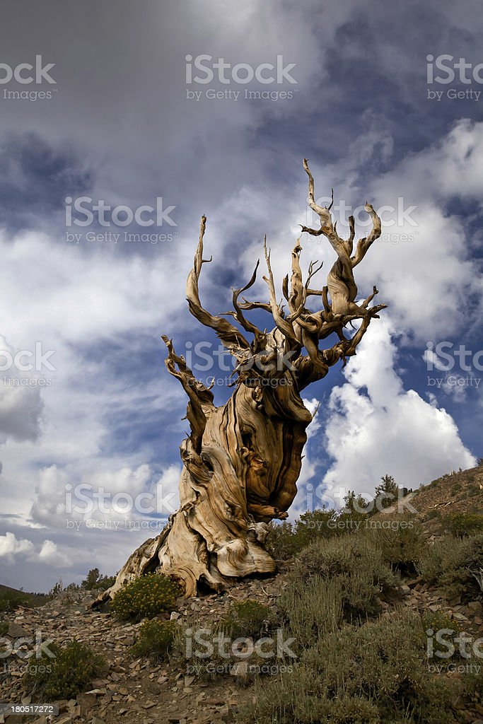 Ancient Bristlecone Pine Tree and Storm Clouds stock photo
