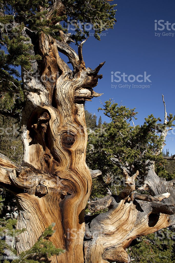 Ancient Bristlecone Pine Tree in Nevada's Great Basin National Park stock photo