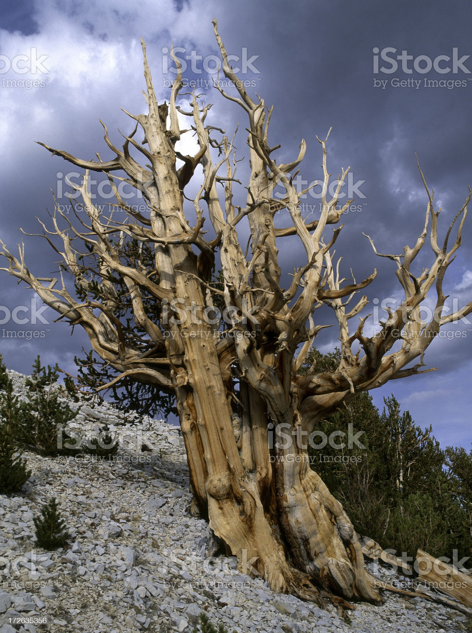 Ancient Bristlecone Pine Tree royalty-free stock photo