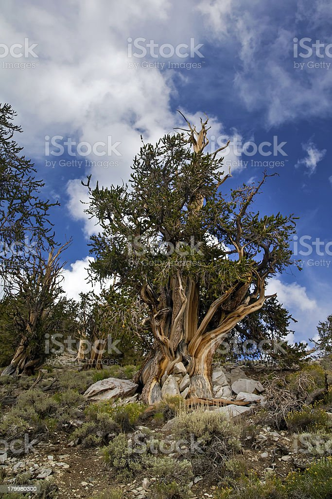 Ancient Bristlecone Pine Tree stock photo