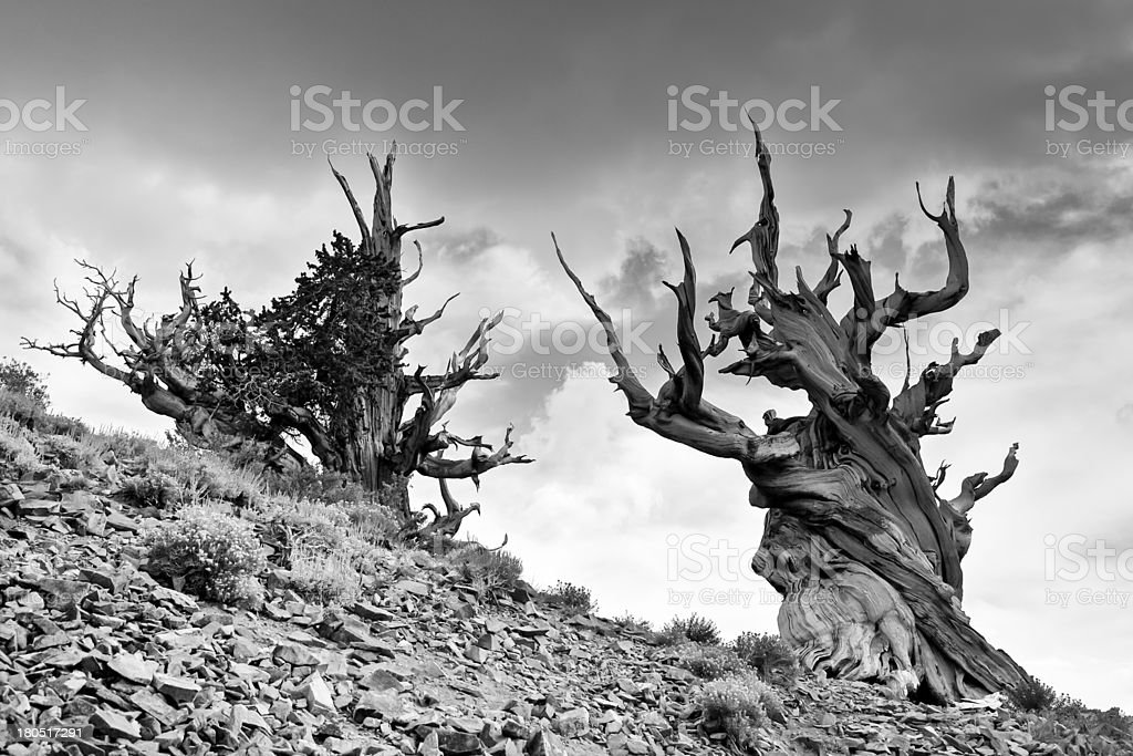 Ancient Bristlecone Pine Trees and Storm stock photo