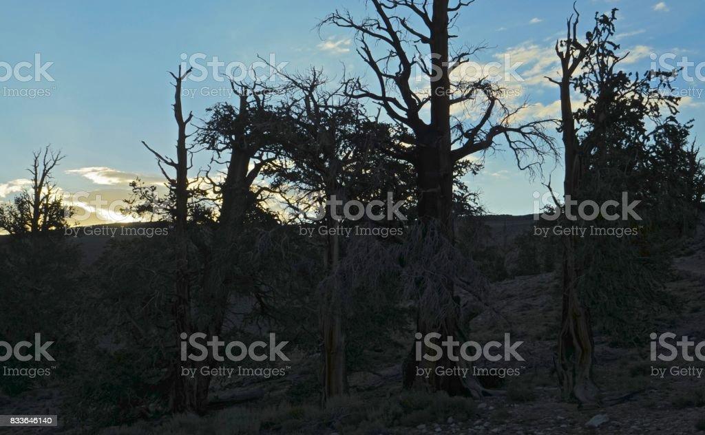 Ancient Bristlecone Pine Trees stock photo