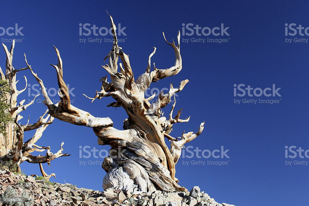 Ancient Bristlecone Pine-01 royalty-free stock photo
