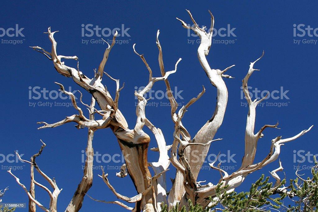 Ancient Bristlecone Pine-03 stock photo