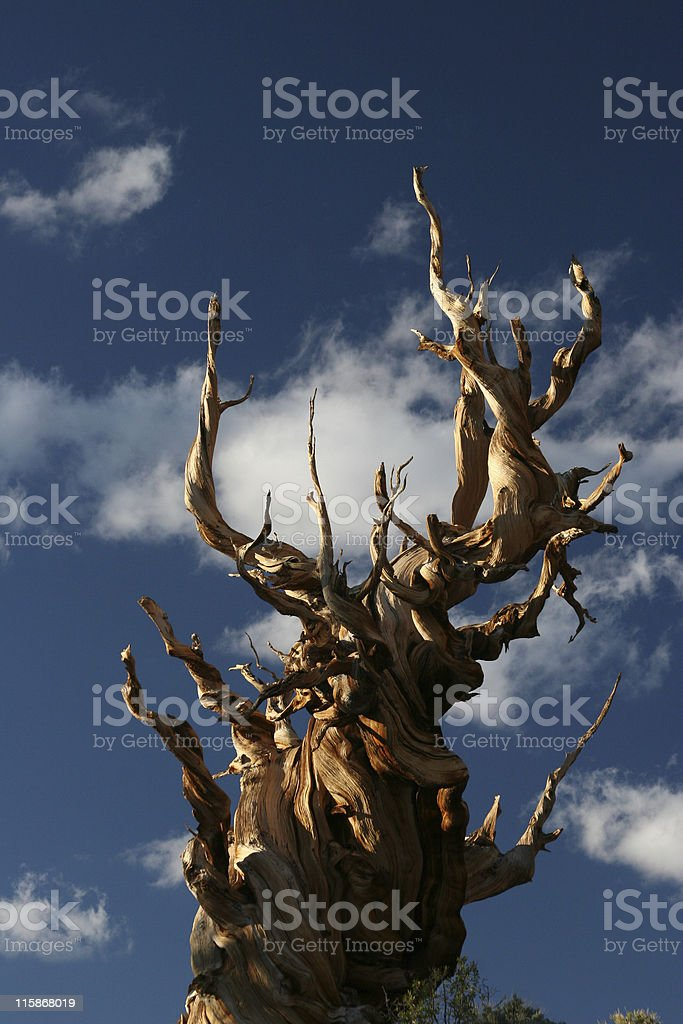 Ancient Bristlecone Pine-04 royalty-free stock photo