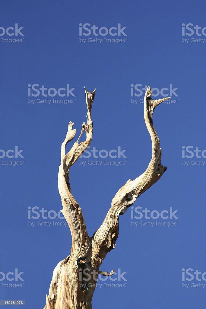 Ancient Bristlecone Pine-08 royalty-free stock photo