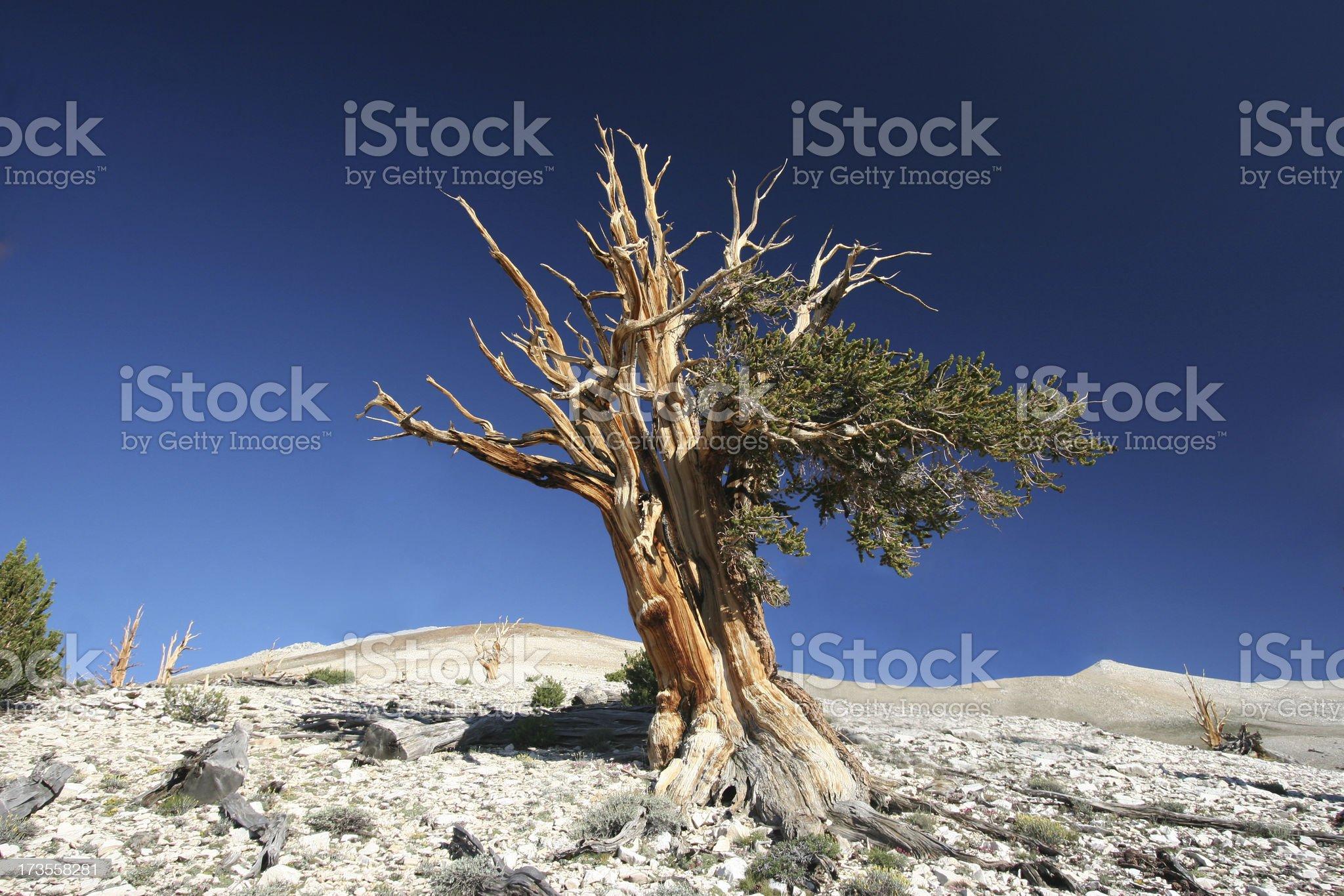 Ancient Bristlecone Pine-09 royalty-free stock photo