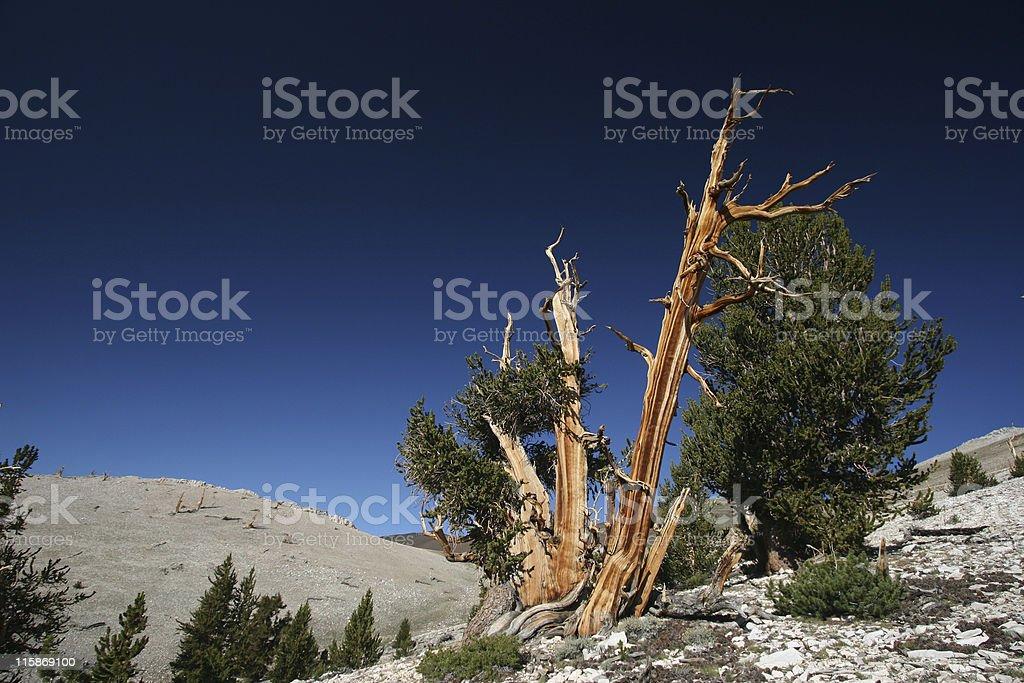 Ancient Bristlecone Pine-11 stock photo