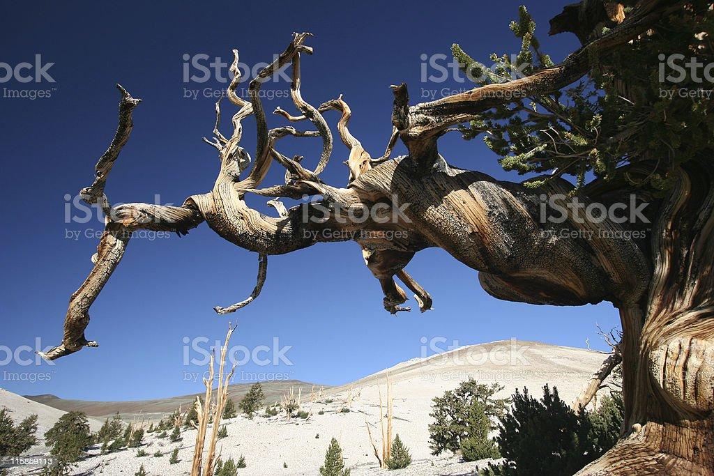 Ancient Bristlecone Pine-12 royalty-free stock photo
