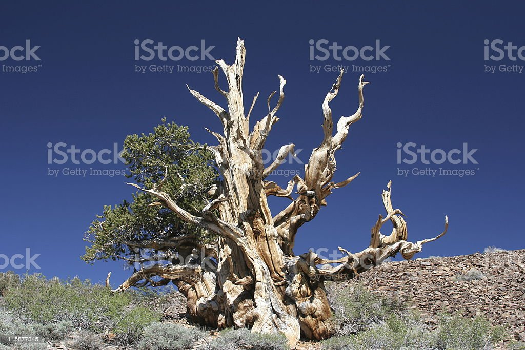 Ancient Bristlecone Pine-18 stock photo