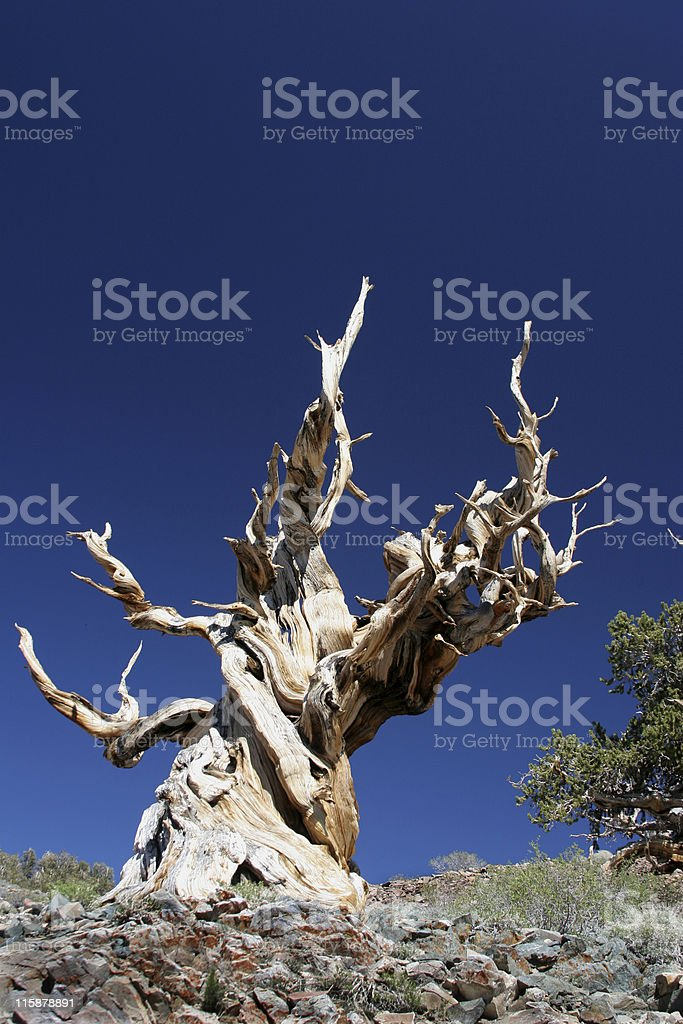 Ancient Bristlecone Pine-21 royalty-free stock photo