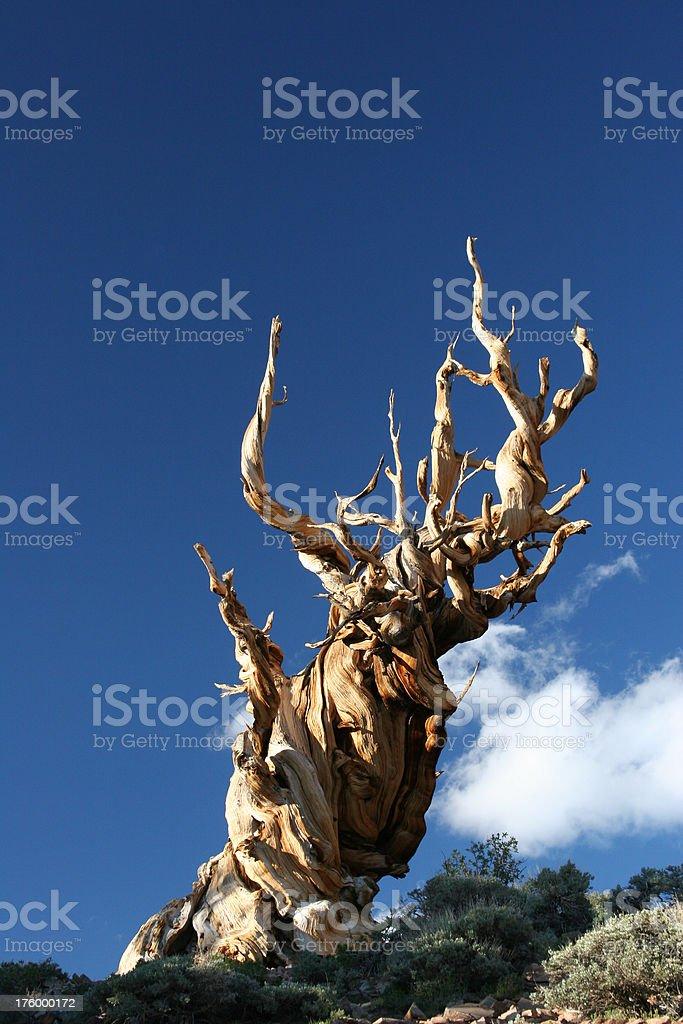Ancient Bristlecone Pine-23 royalty-free stock photo