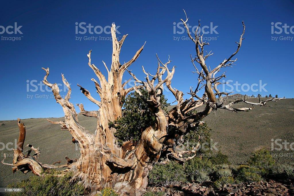 Ancient Bristlecone Pine-24 royalty-free stock photo