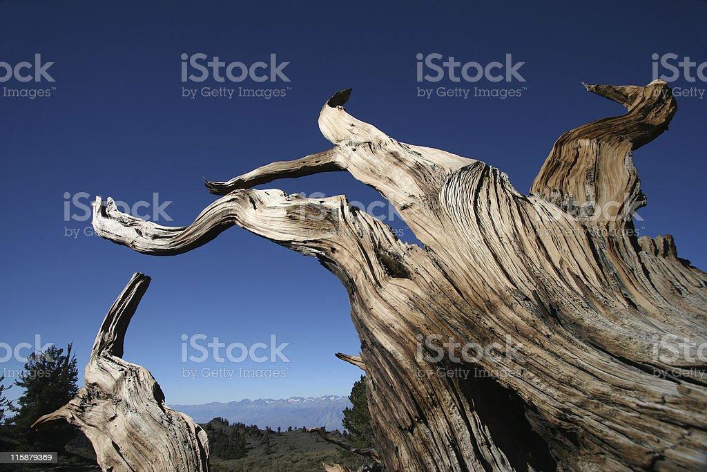 Ancient Bristlecone Pine-26 royalty-free stock photo