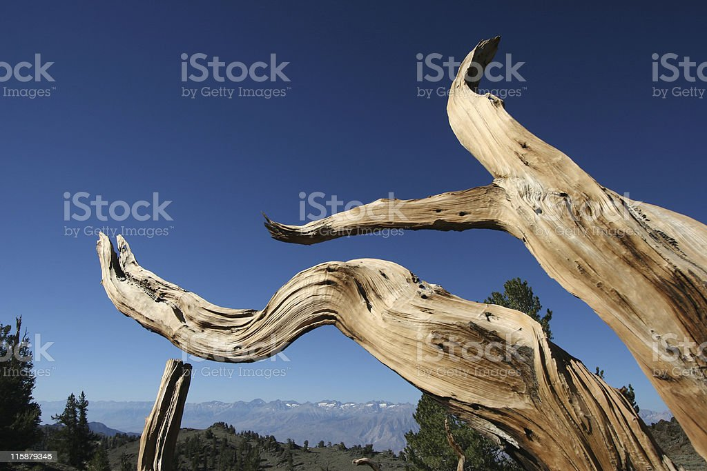 Ancient Bristlecone Pine-27 royalty-free stock photo