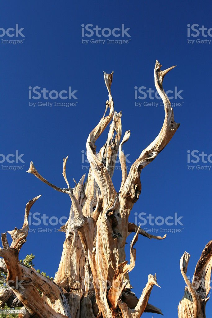 Ancient Bristlecone Pine-29 royalty-free stock photo