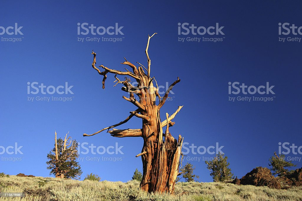 Ancient Bristlecone Pine-30 royalty-free stock photo