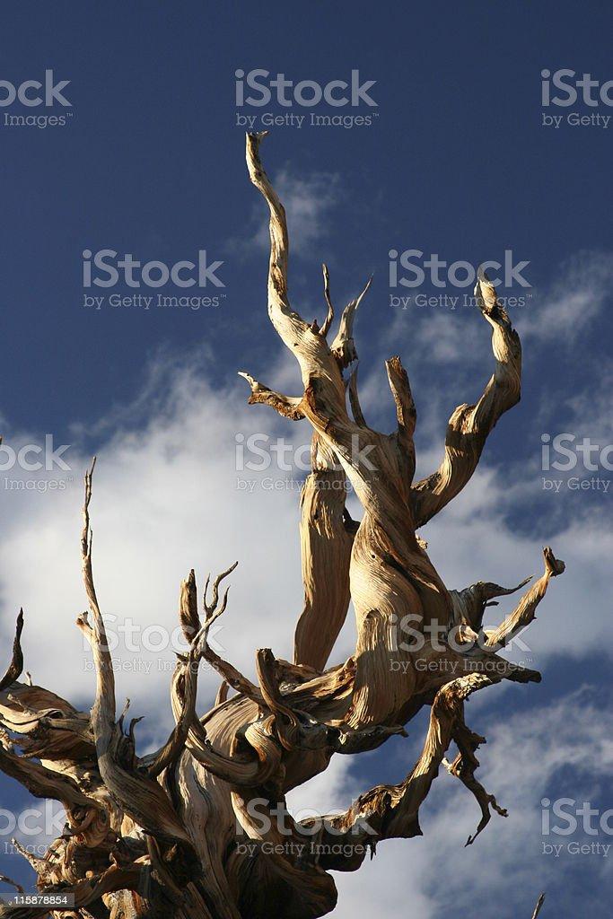 Ancient Bristlecone Pine-32 royalty-free stock photo