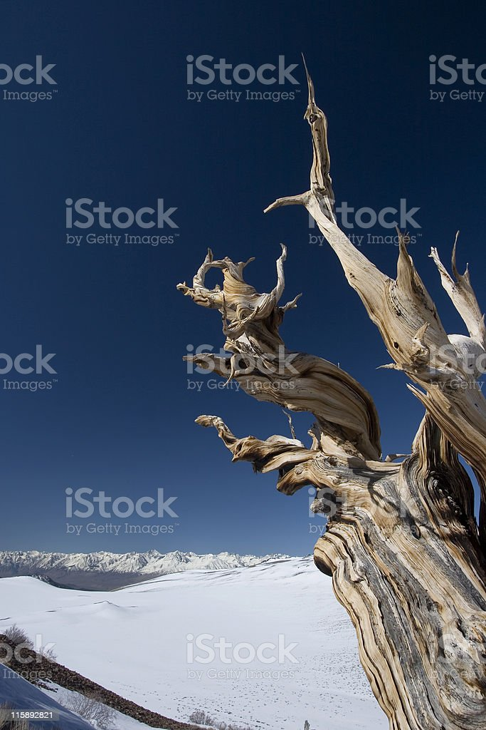 Ancient Bristlecone Pine-33 royalty-free stock photo
