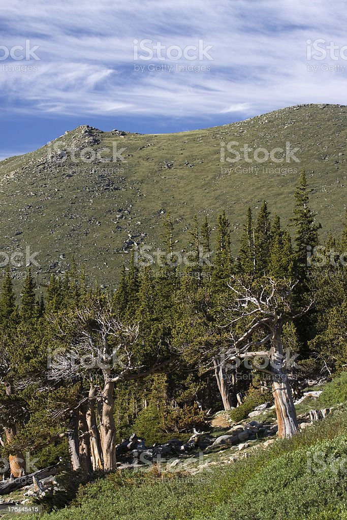 Ancient bristlecone pines on Mount Evans Colorado royalty-free stock photo