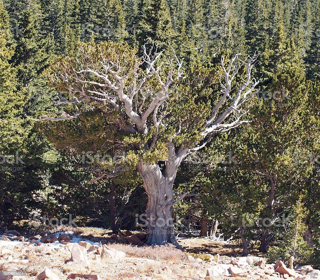 Ancient Bristlecone Tree stock photo