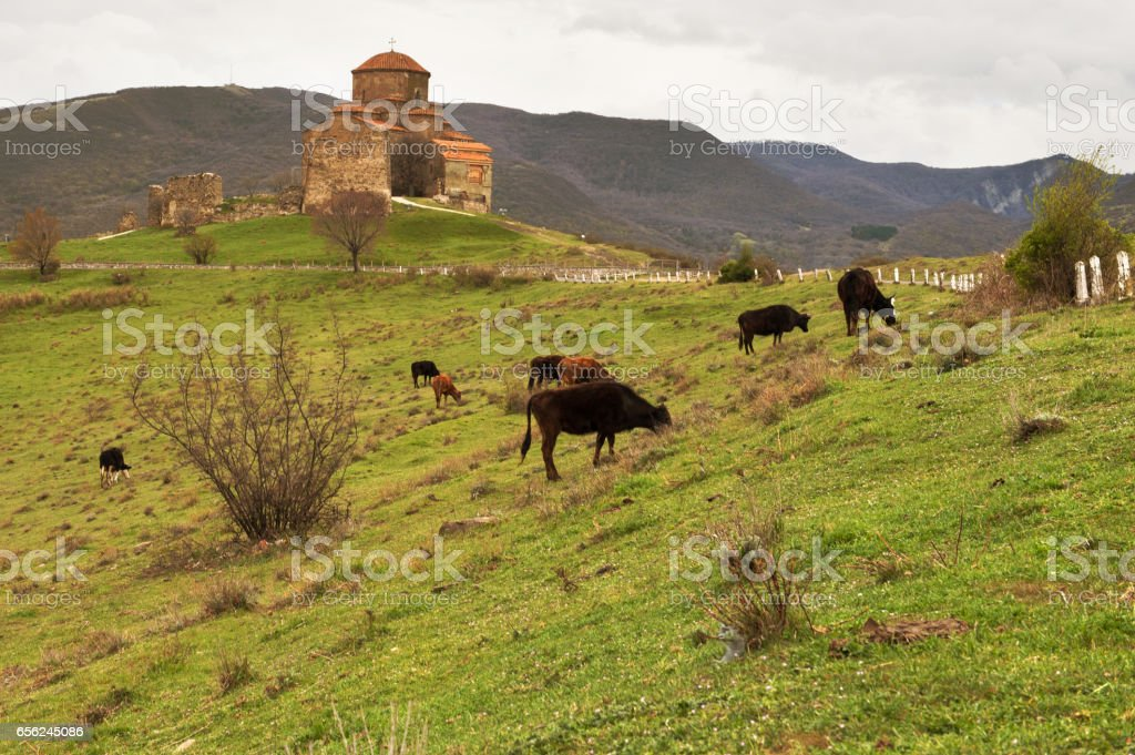 ancient church with Cows stock photo