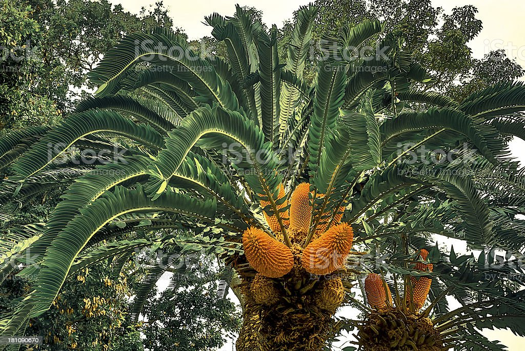 Ancient Cycad bears Fruit royalty-free stock photo