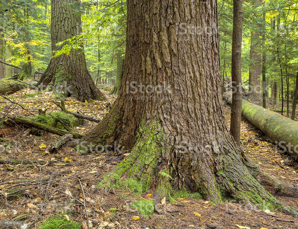 Ancient Forest Tree Trunk with Moss royalty-free stock photo