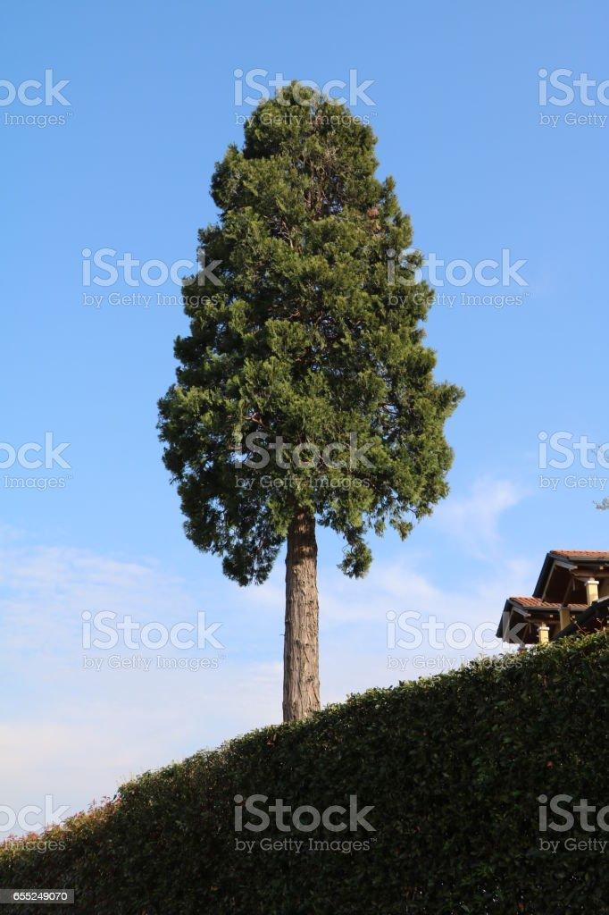 Ancient giant Italian cypress in Italy stock photo