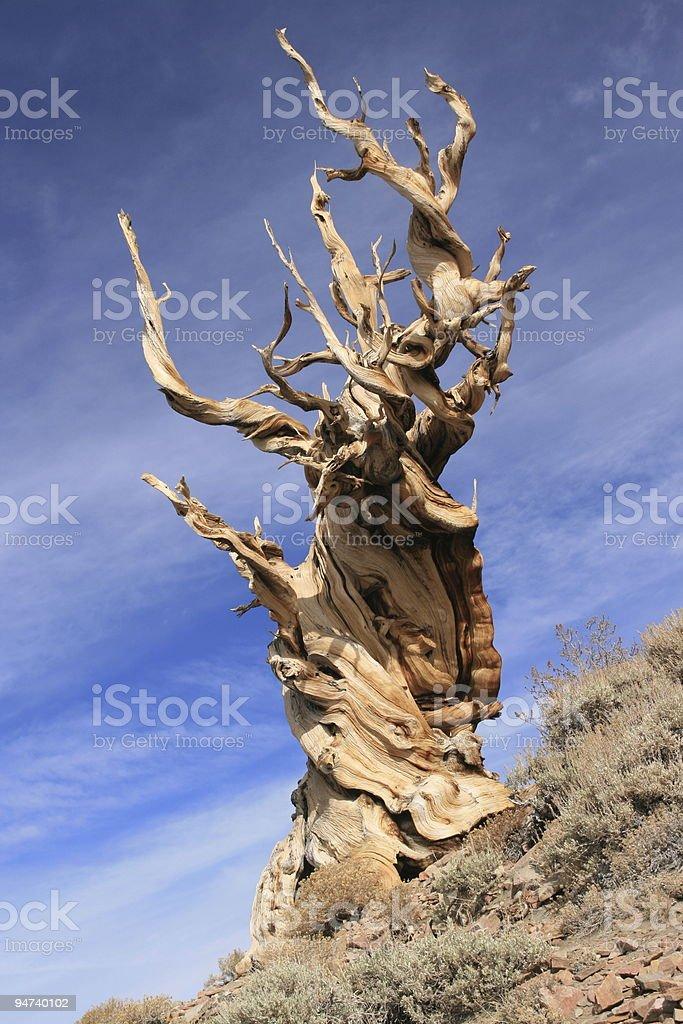 Ancient gnarled tree royalty-free stock photo