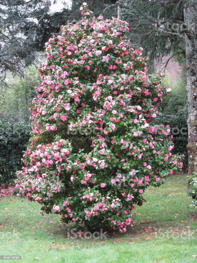 Ancient japanese cultivar of Camellia japonica flower . Evergreen shrub stock photo