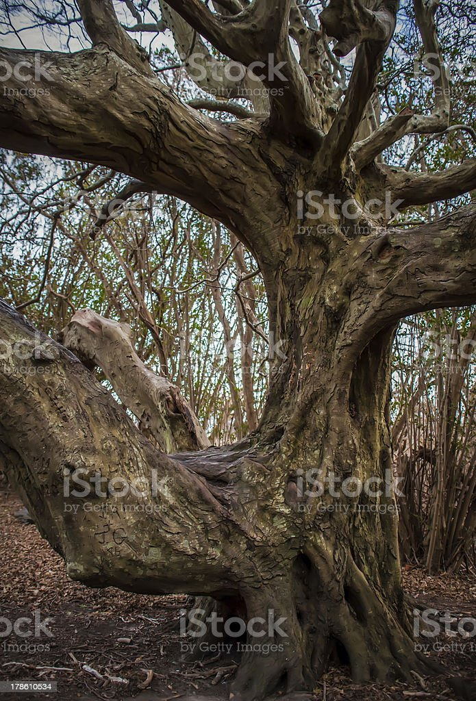 Ancient lone   tree  sculpted by the nature, royalty-free stock photo