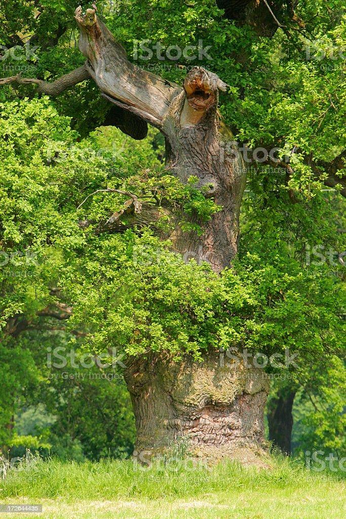 Ancient Oak stock photo