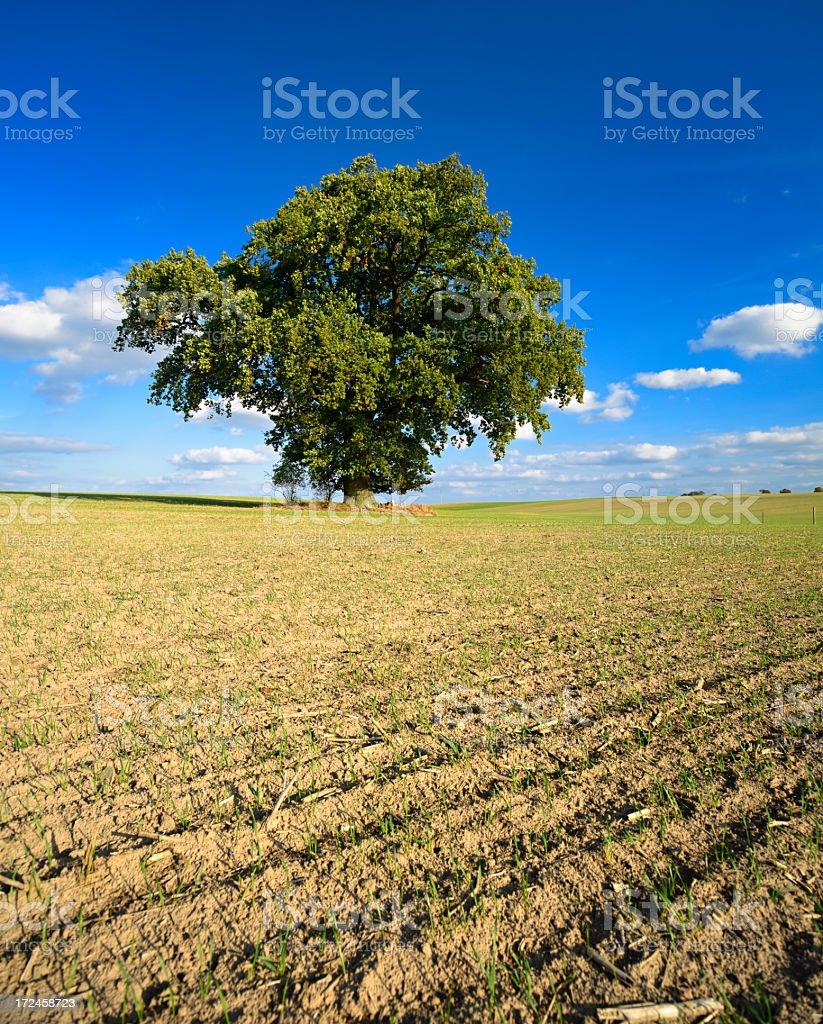 Ancient Oak Tree in Field Landscape royalty-free stock photo
