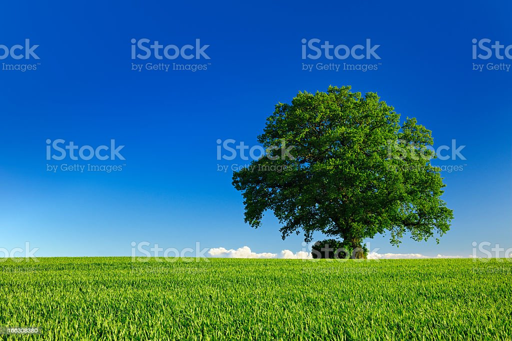 Ancient Oak Tree in Spring Landscape under Blue Sky stock photo