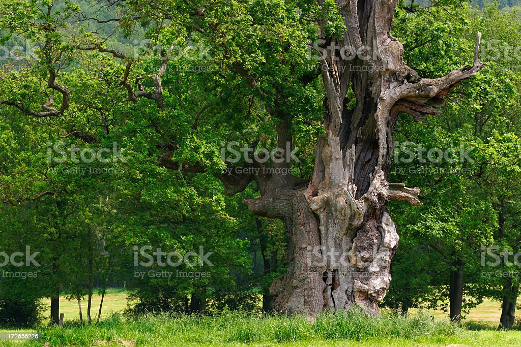 Ancient oak tree stock photo