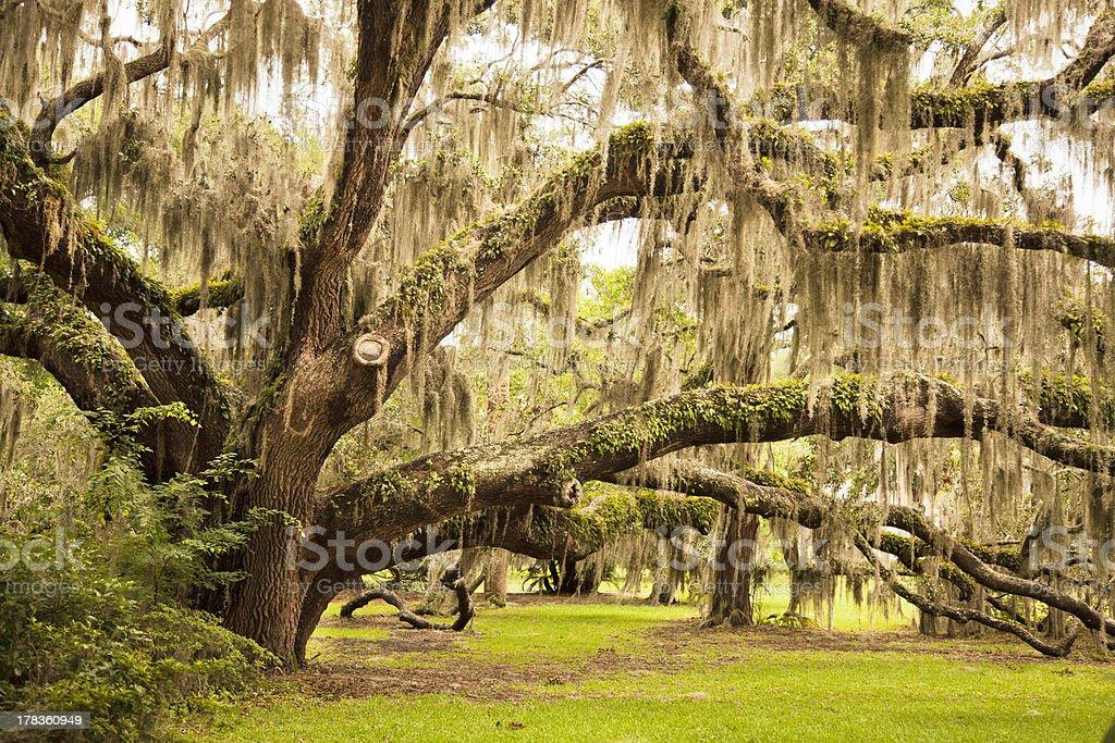 Ancient Oak Tree royalty-free stock photo