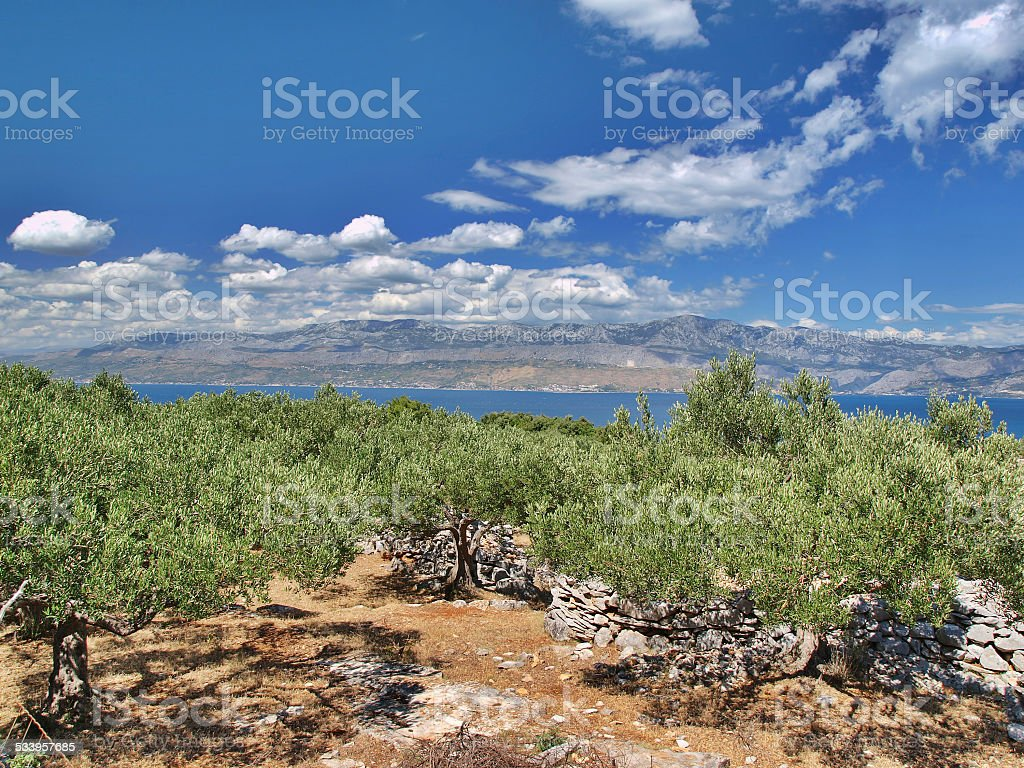 Ancient olive grove stock photo